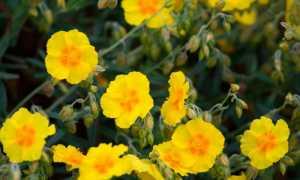 Cолнцецвет: посадка и уход, отзывы, фото
