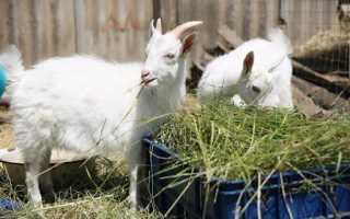 Завести козу для молока: с чего начать, правила содержания и трудности