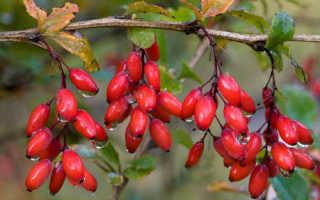 Барбарис – русский аналог ягоды Годжи: польза, лечебные свойства и рецепты