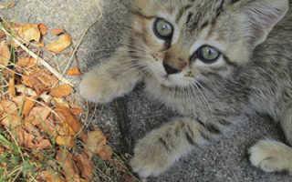 Как безопасно вывести блох у котенка 1–2 месяцев в домашних условиях: современные средства и народные методы
