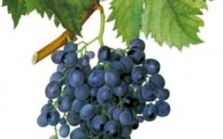 Виноград Мускат гамбургский: описание сорта, достоинства и недостатки, фото