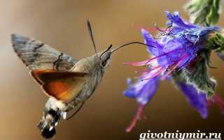 Жизненный цикл бражника и способы разведения бабочек дома