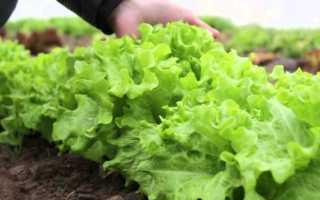 Как выращивать салат зимой на продажу: особенности бизнеса, посадка и уход