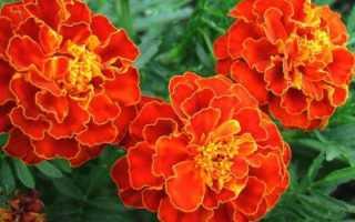 Бархатцы: описание этого цветка и похожих на него, научное и другие названия, советы