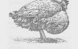 Зоб у курицы: причины и лечение