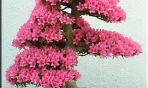 Азалия: картинки с растением, описание разновидностей