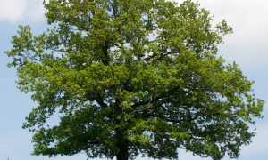 Дуб обыкновенный (черешчатый): описание, фото, особенности выращивания на даче
