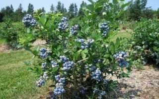 Голубика Нортланд: описание сорта, правила выращивая и ухода с фото