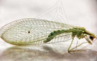 Златоглазка насекомое в доме как избавиться: зеленые мошки с прозрачными крыльями