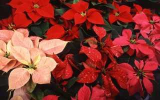 Виды и сорта пуансеттии для выращивания дома, обзор, фото с описанием, видео