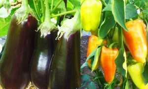 Как вырастить перец и баклажаны в одной теплице и собрать рекордный урожай?