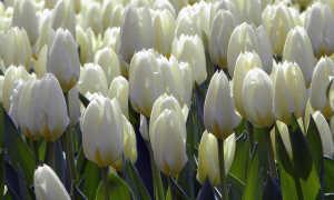 Как и когда пересаживать тюльпаны в другое место после цветения?