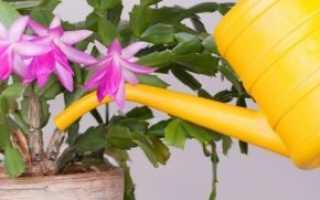 Как поливать декабрист, чтобы он цвел каждую зиму