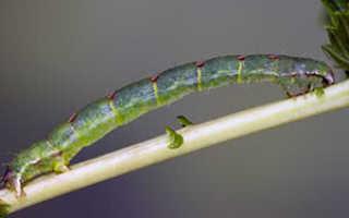 Березовые пяденицы: вред наносимый бабочками и меры борьбы с ними