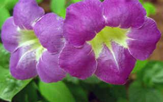 Азистазия. Все статьи о растении. Описание, выращивание и уход