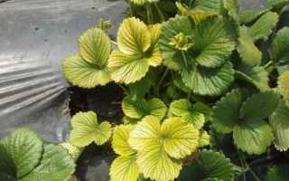 Желтеют листья клубники: что делать