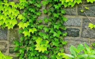 Девичий виноград в ландшафтном (пятилисточковый и триостренный)