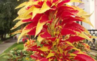 Амарант трехцветный (Аmaranthus tricolor) — описание, выращивание, фото