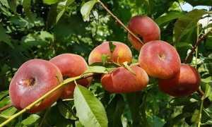 Инжирный персик: описание и особенности посадки растения