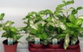 Декоративное растение с пестрыми листьями — Драцена Годсефа