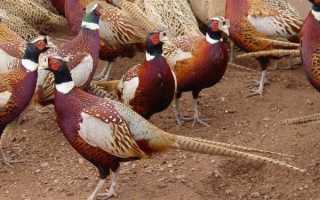Как выращивать фазанов: разведение и содержание в домашних условиях