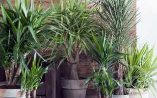 Вечнозеленая Юкка: дельные советы и секреты ухода в домашних условиях