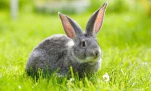 Как за лето вырастить кроликов