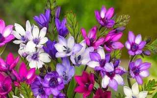 Биарум. Все статьи о растении. Описание, выращивание и уход