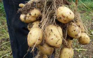 Голландская технология выращивания картофеля: видео посадки