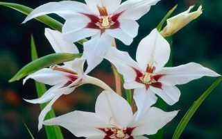 Душистый гладиолус ацидантера: описания и сорта, правила посадки и ухода