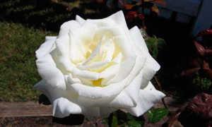 Белая роза лучшие сорта: посадка и уход