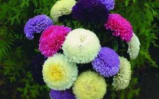 Астры: выращивание из семян и особенности ухода, фото пионовидных цветков