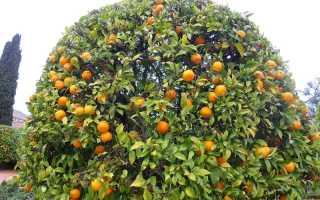 34 распространенных вида цитрусовых фруктов с названиями, описаниями и фото