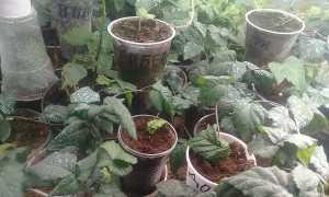 Как правильно размножить садовую ежевику: черенкованием, делением куста, отводками, весной, осенью