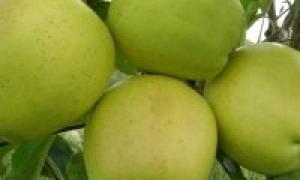 Голден Делишес (Golden Delicious) – описание сорта яблони