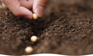 Как правильно определять сроки посева семян для дружных всходов