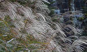 Выращивание мискантуса: посадка и уход в открытом грунте