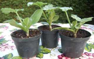 Как привить арбуз на корни тыквы
