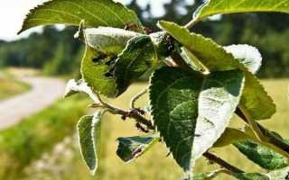Как избавиться от муравьев на яблоне