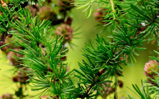 Как вырастить лиственницу из семян в домашних условиях: когда собирать шишки на посадку, как посадить и ухаживать