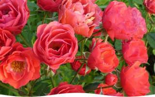 Как правильно сажать розы черенками весной