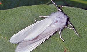 Американская белая бабочка – описание, места обитания и методы борьбы