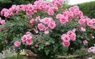 Видео: Какие розы самые неприхотливые и зимостойкие
