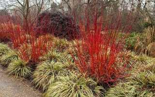 Выращивание на дачном участке красного дёрена или кроваво-красной свидины