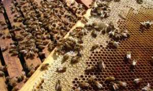 Как пчелы делают мед, время медосбора, сколько меда собирает пчела, видео