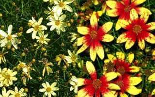 Как проводится посадка и какой уход нужен цветку кореопсису многолетнему
