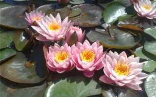 Водяная лилия посадка и уход в домашних