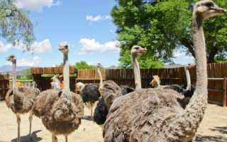 Выращиваются ли страусы в домашних условиях и что для этого надо