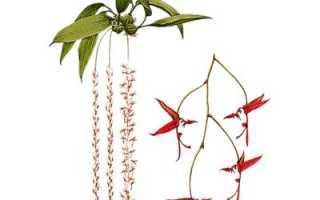 Гонгора усечённая (Gongora truncata) — описание, выращивание, фото