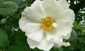 Белый шиповник: описание растения, популярные сорта, уход за кустами, размножение